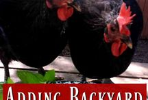 Chickens on the Homestead / Raising chickens on the homestead. For pets and livestock.  Go to http://myhomesteadlife.com/ to read more.