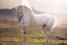 Lusitano, PRE, Warlander, Karolinerhorse, ++ / Baroque, Classical dressage horses