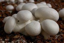 Cultivo de champignones