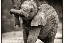 Elephants / My passion, elephants  Most beautiful animal