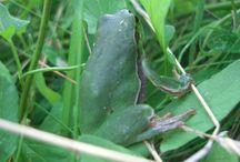 Przyroda / o żabce rzekotce nadrzewnej