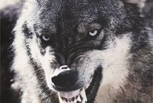 ''Angry wolf ''