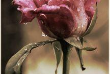 K - 4 RŮŽE /  Rose