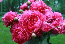 PEONY | Cut Flower Inspiration