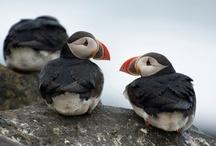 Arctic: puffins, lunder, søpapegøjer