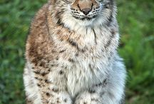 Katte - Wilde