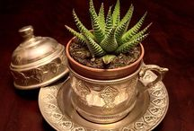 succulent / succulent plant