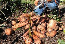 Gardening / Growing and nurturing plants, especially food!