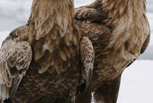 Eagels / Roofvogels