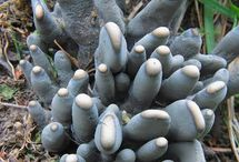 Xylaria / Xylaria is a genus of ascomycetous fungi commonly found growing on dead wood. The name comes from the Greek xýlon meaning wood (see xylem). Two of the common species of the genus are Xylaria hypoxylon and Xylaria polymorpha.