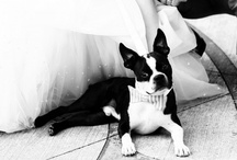 Dressed Up Boston Terriers / Very GQ, if you ask us.