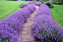 Lavender garden love. / Lavender makes a garden beautiful