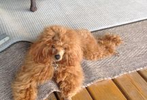 Hearthside Poodles - Toy Poodles and Miniature Poodles / This board is for us to put up pictures of our poodles, as babies and as adults.  For more information, you will find us at:  www.hearthsidemeadow.com