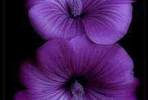 Violet ~ Violeta ~ Purple