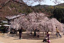 大三島の教善寺の垂れ桜 / 2015・3・29 本堂に切り絵を飾っていただきました