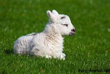 Baby sheep / Baby sheep pictures