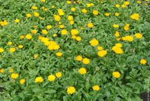 Цветы календулы лекарственной высушенные