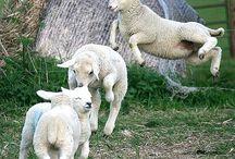 lamby lambs