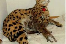 Savannahkat