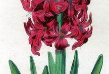 Robert Sweet The Florist's Guide Botanical Flowers Plants Prints, London 1827-1832