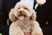 Toy Poodle / by Angelina Fonseca