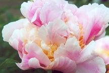 Peonies and Hydrangeas - My Favorite Flowers