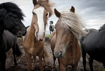 Horses / Horses, colts, ponies.