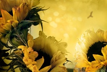 Auringonkukkia / Sunflowers