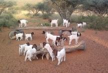Boer Goats / Boer goats in the Kalahari