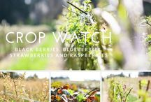 Crop Watch / the berry fields at Krause