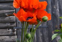 Pipacs/Poppies