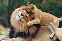 Løver - verdens vakreste dyr