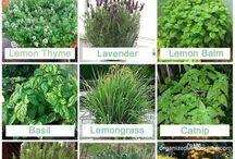 mosquitoes repelant plants