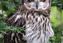 Owls / Pictures