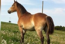 Nougat van Haflonië / Our sweet mare Nougat 28-04-2014