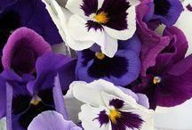 *Blue Violets & Purple Rain!*