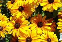 Favorite Garden Plants / tough plants that are naturally resistant to common garden diseases like powdery mildew, rust, and black spot - easy to grow varieties - hardy plants that grow in tough climates