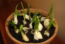 Grow inside garlic