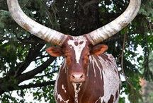 horned animals
