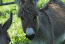 Laverne and Shirley / Moon Valley Sport Horses'  mom and daughter miniature donkeys