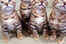 Bengal Cat Breeders
