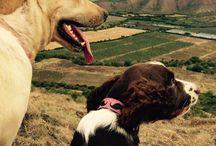 FOTOS MILU SPRINGER SPANIEL / Puppy