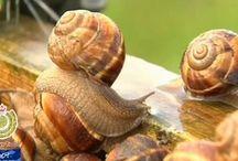 Snail farming develops taste for treat