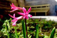 Pink Flower / Pink Flower