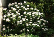 cunninghams white