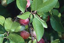 Fruit trees etc