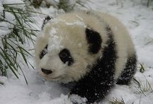 Mondo Panda