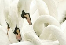 Ducks and Swans  / by Talas A
