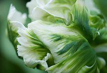 Tulipa- Tulp