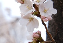 Το παραμύθι της βροχής, sakura